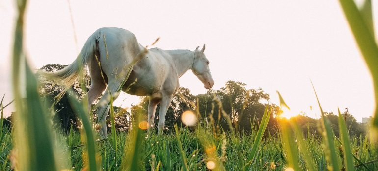 White horse on a farm; ride a horse as a summer activity in Derry